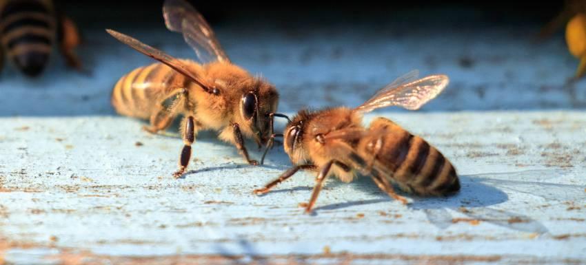 La rose et la ruche