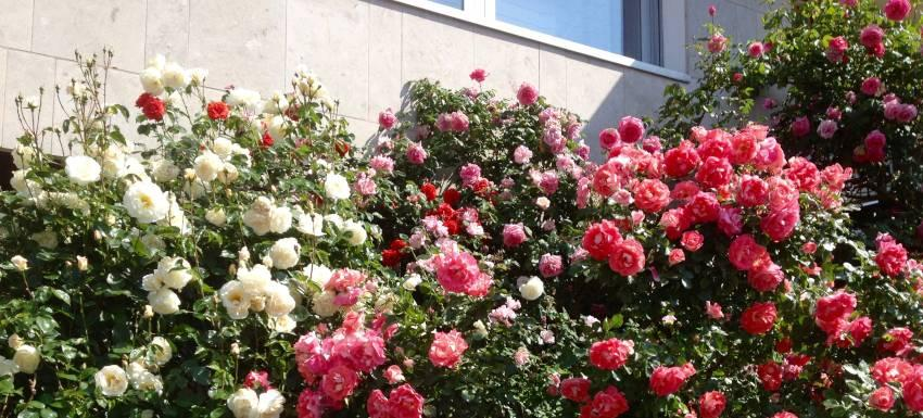 Une rose, une ruche, la vie : Songez à commander vos roses
