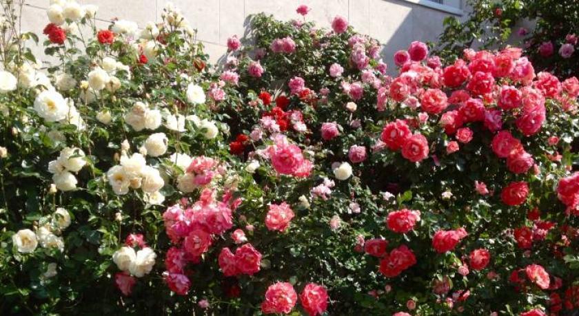 Opération Roses et Ruchers : Premières pollinisations en attente